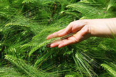 Female hand against a wheaten field Royalty Free Stock Photos