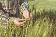 Female hand in barley field, farmer examining plants, agricultural concept. Royalty Free Stock Images