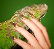 Female hand with beautiful manicure touching  a iguana Stock Photography