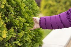 Female hand, branches of tree, larch royalty free stock image