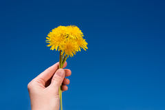 Female hand with a bunch of dandelions Royalty Free Stock Image