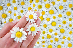 Female hand among camomile Stock Image