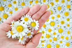 Female hand among camomile Stock Photography