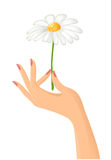 Female hand with camomile Stock Images