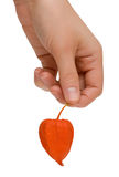Female hand with a cape gooseberry fruit. A woman's hand holding a cape gooseberry fruit. Isolated on white background Royalty Free Stock Images