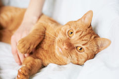 Female hand caress cat Stock Photography
