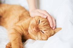 Female hand caress cat Stock Images