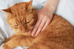 Female hand caress cat Stock Image
