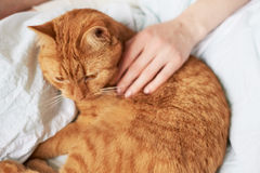 Female hand caress cat Royalty Free Stock Photo