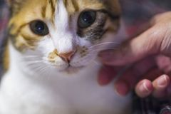 Female hand caress her calico cat softly, close up, indoor stock photo