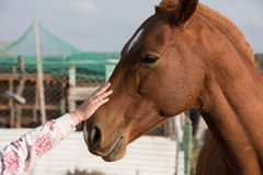 Female hand caressing horse detail Stock Photos