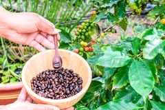 Coffee beans in wooden bowl. Female hand with coffee beans in wooden bowl coffee tree background Stock Image