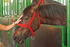 Female hand cuddle beautiful horse Royalty Free Stock Image