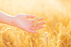 Female hand in cultivated agricultural wheat field. Stock Images