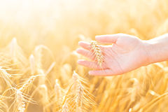 Female hand in cultivated agricultural wheat field. Royalty Free Stock Photography