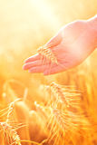 Female hand in cultivated agricultural wheat field. Royalty Free Stock Image