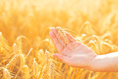Female hand in cultivated agricultural wheat field. Royalty Free Stock Photos