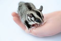 Female hand with cute sugar glider on white background Stock Photo