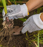 Female hand digs up gladiolus Royalty Free Stock Photos