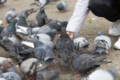 Female hand  feeding  group  pigeons. Close up Royalty Free Stock Photography