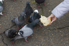 Female hand  feeding  group  pigeons. Close up Stock Images