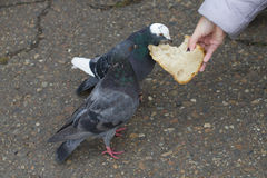 Female hand  feeding  two  pigeons. Close up Royalty Free Stock Photos