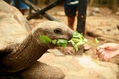 Female hand feeds large old Galapagos tortoise leaf stock images