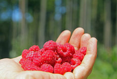 Female hand, filed with wild raspberries Royalty Free Stock Image