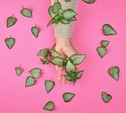 Female hand and fresh green leaves of a plant on a pink background. Top view. Concept of natural care cosmetics for skin against wrinkles and aging royalty free stock image