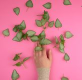 Female hand and fresh green leaves of a plant on a pink background. Top view. Concept of natural care cosmetics for skin against wrinkles and aging royalty free stock photography