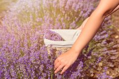 Female hand gather fresh lavender in a wicker basket. Beautiful girl gather fresh lavender in lavender field. Sun, sun haze, glare. Purple tinting royalty free stock photos