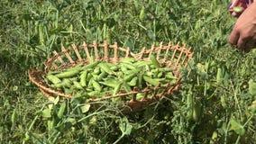 Female hand gather green pea pod in wicker plate on field. 4K stock video footage