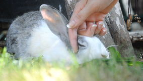 Female hand gently strokes rabbit which sits in grass stock footage
