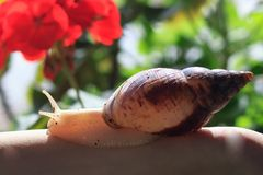 Female hand with giant Achatina snail. Health and skin rejuvenation. Stock Photo