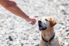 Female hand gives command to a dog. Female hand gives command to a labrador retriever Royalty Free Stock Images