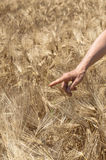 Female hand in gold barkey field on summer day. Royalty Free Stock Photos