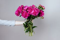 Female hand holding beautiful bouquet with fragrant peonies. On gray background royalty free stock photos