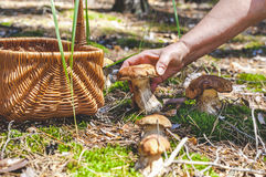 Female hand holding big boletus in forest clearings Stock Images