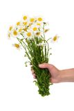The female hand holding a bouquet of camomile Stock Image