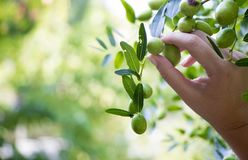 Female hand holding a branch of olives. Hand of a woman holding an olive branch in a green nest royalty free stock photography