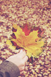 Female hand holding bunch of colorful autumn leaves. Woman's hand holding bunch of colorful autumn leaves Royalty Free Stock Photo