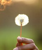 Female hand holding dandelion flower Royalty Free Stock Images