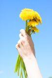 Female Hand Holding Dandelion Flowers Stock Images
