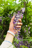 Female hand holding green plant with purple flowers Stock Photography