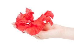 Female hand holding a Hibiscus Royalty Free Stock Images