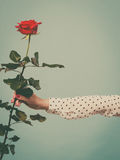 Female hand holding red rose flower Royalty Free Stock Photos