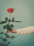 Female hand holding red rose flower Royalty Free Stock Image