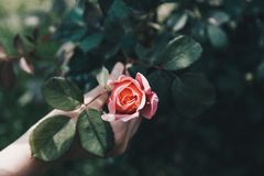 Female hand holding rose - pink flowers over a tree root - hope concept stock photography