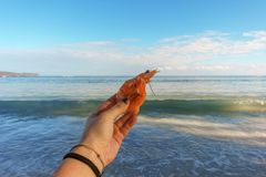 Female hand holding a Royal shrimp on a background of sea waves royalty free stock image