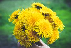 Female hand holding a small bouquet of yellow dandelion bouquet flowers. Close-up royalty free stock image